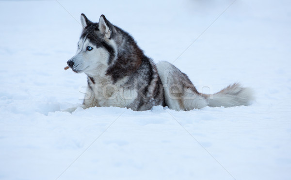 Siberian Husky dog Stock photo © master1305