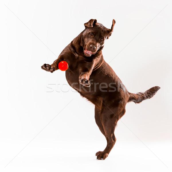 Rosolare labrador retriever bianco giocare studio palla Foto d'archivio © master1305