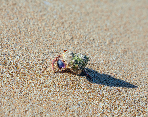 hermit crab on the beach  Stock photo © master1305