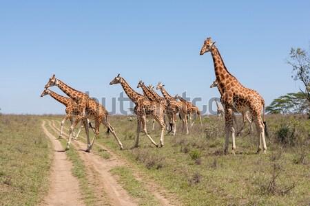 Foto stock: Girafas · rebanho · savana · Quênia · África