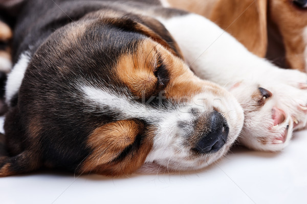 Beagle Puppy, lying in front of white background Stock photo © master1305