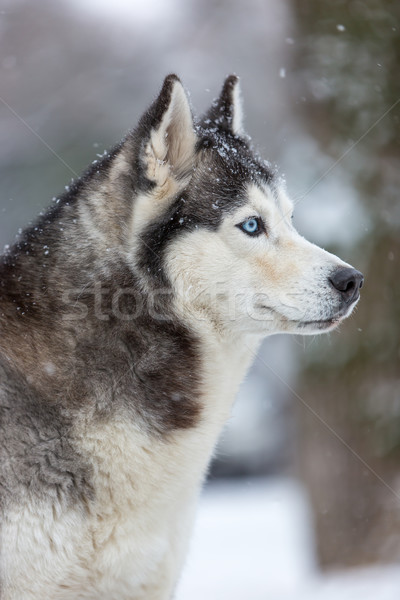 Siberian Husky dog Stock photo © master1305