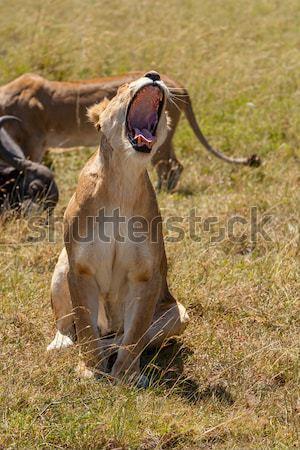 Preda sfondo savana Kenia africa Foto d'archivio © master1305