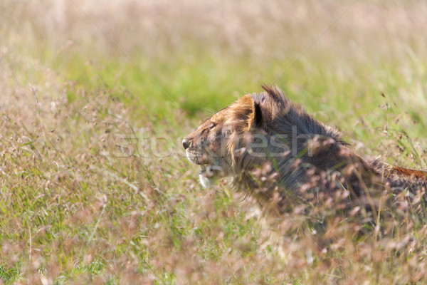 Young lioness on savanna grass background Stock photo © master1305