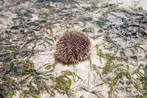 Tenger sündisznó homok étel természet szépség Stock fotó © master1305