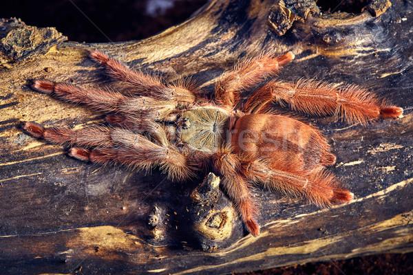 тарантул коричневый почвы веб тропические Сток-фото © master1305