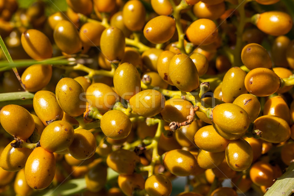 Stock photo: Closeup of yellow dates clusters
