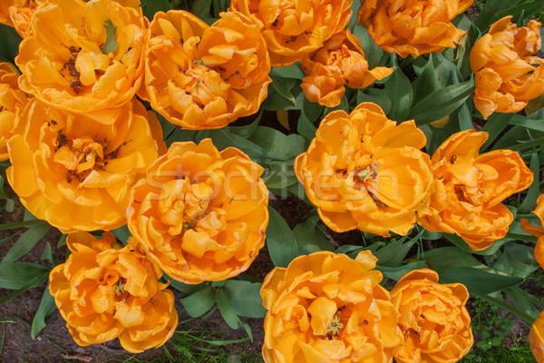 Tulipa campo jardins jardim de flores flor jardim Foto stock © master1305
