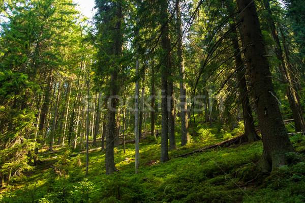 Beautiful pine trees on  mountains Stock photo © master1305