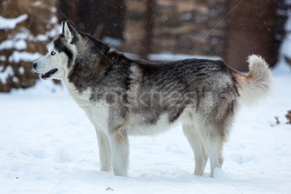 ハスキー 犬 白 雪 顔 自然 ストックフォト © master1305