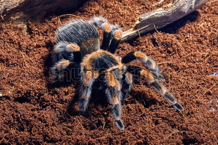 Mexican red knee tarantula  Stock photo © master1305