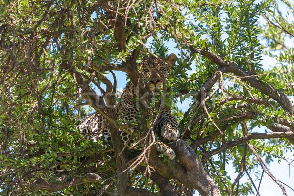 Leopard большой дерево Африка Кения тело Сток-фото © master1305