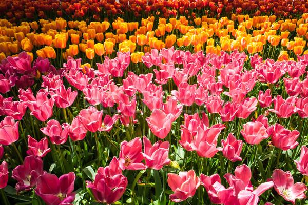 Tulipa campo jardins jardim de flores flor primavera Foto stock © master1305