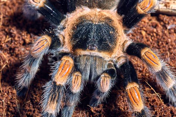 мексиканских красный колено тарантул коричневый Сток-фото © master1305