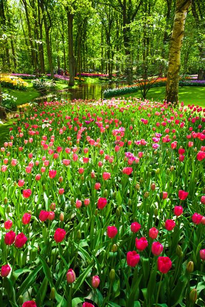 Foto stock: Tulipa · campo · jardins · jardim · de · flores · flor · paisagem
