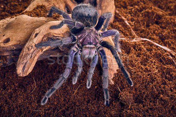 Stock photo: tarantula Phormictopus sp purple