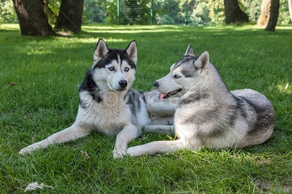 Portre iki köpekler boğuk yeşil ot çim Stok fotoğraf © master1305