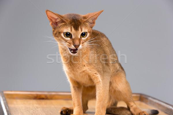 Fajtiszta fiatal macska portré szürke háttér Stock fotó © master1305