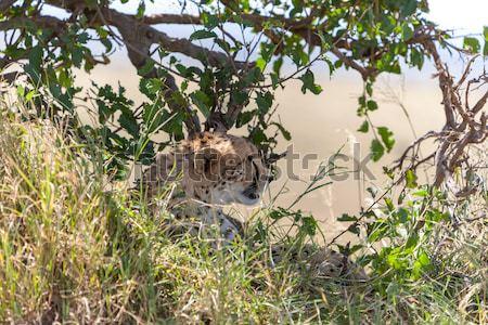 cheetah Stock photo © master1305