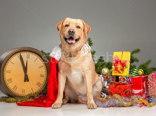 Labrador seis novo anos grinalda Foto stock © master1305