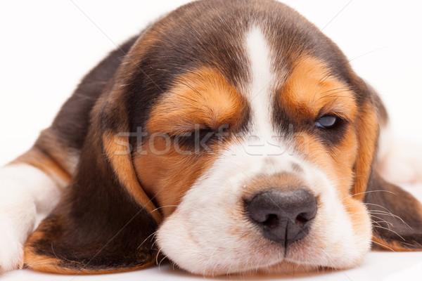 Beagle щенков белый Постоянный портрет молодые Сток-фото © master1305