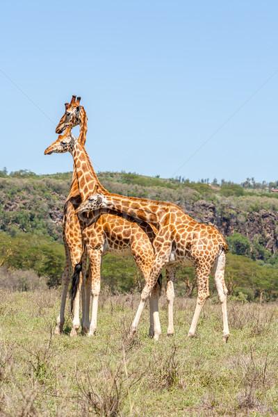three giraffes herd in savannah Stock photo © master1305