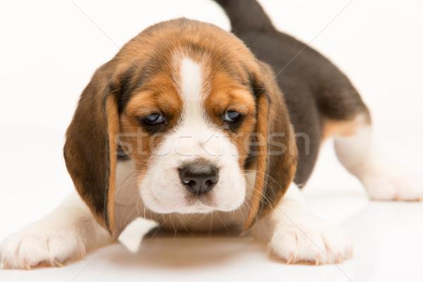 Beagle cucciolo bianco piedi ritratto giovani Foto d'archivio © master1305