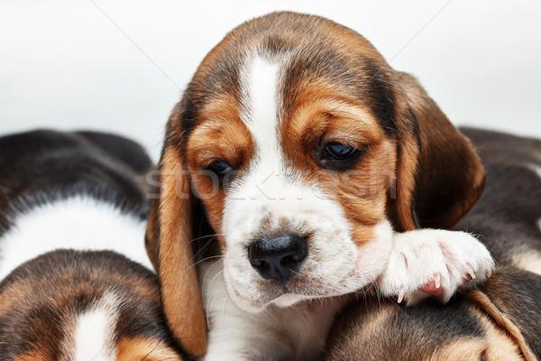 Kopó kutyakölyök fehér szomorú 1 hónapos öreg Stock fotó © master1305