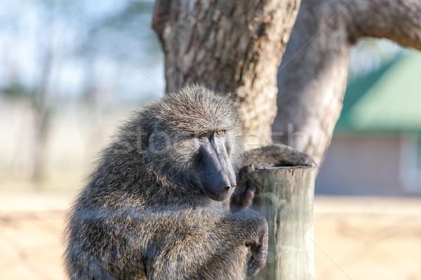 бабуин сидят дерево Кения Африка лице Сток-фото © master1305