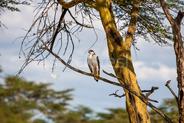 Afrikaanse vis adelaar boom Kenia meer Stockfoto © master1305