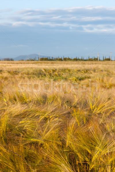 Wheat growing in green farm field Stock photo © master1305
