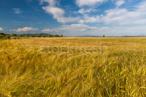 Young wheat growing in green farm field Stock photo © master1305