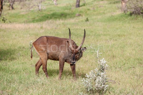 Zöld fű szafari természet háttér sivatag zöld Stock fotó © master1305