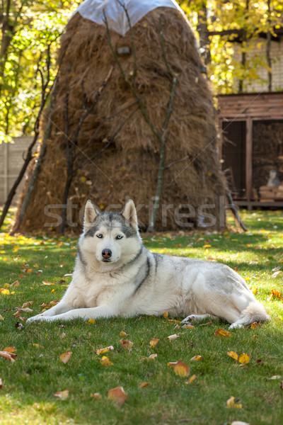 Portret husky zielona trawa trawy szczęśliwy piękna Zdjęcia stock © master1305