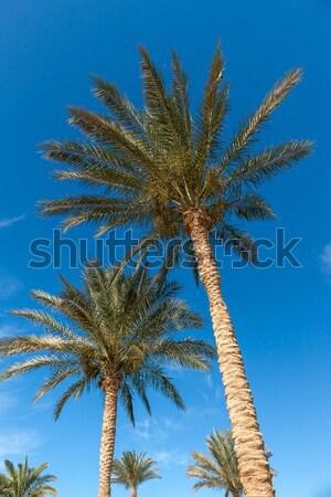 Pálmafák Egyiptom kék ég tengerpart nap természet Stock fotó © master1305