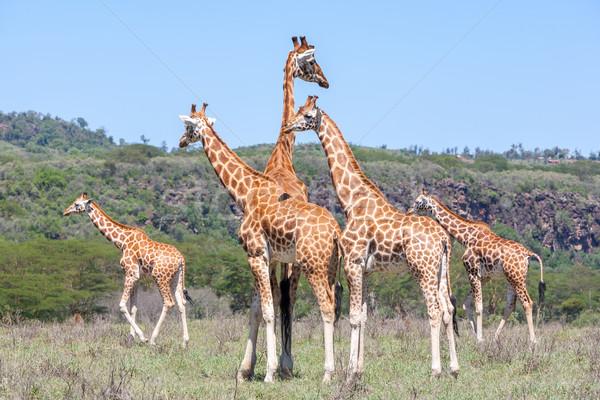 Stock fotó: Zsiráfok · nyáj · szavanna · vad · Kenya · Afrika