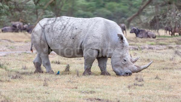 Szafari orrszarvú fehér szavanna zöld utazás Stock fotó © master1305