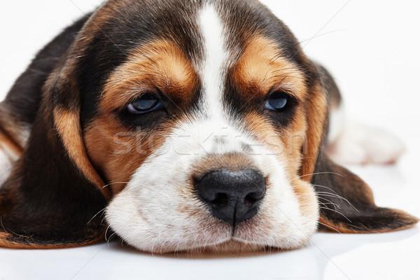 Kopó kutyakölyök fehér 1 hónapos öreg torkolat Stock fotó © master1305
