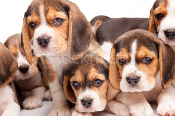 Beagle puppies on white background Stock photo © master1305