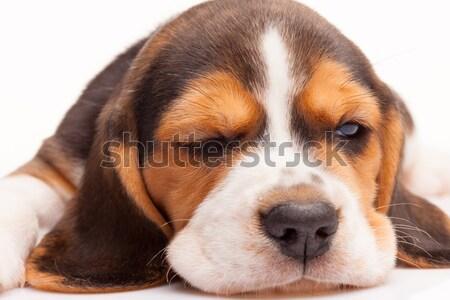 Kopó kutyakölyök fehér 1 hónapos öreg alszik Stock fotó © master1305