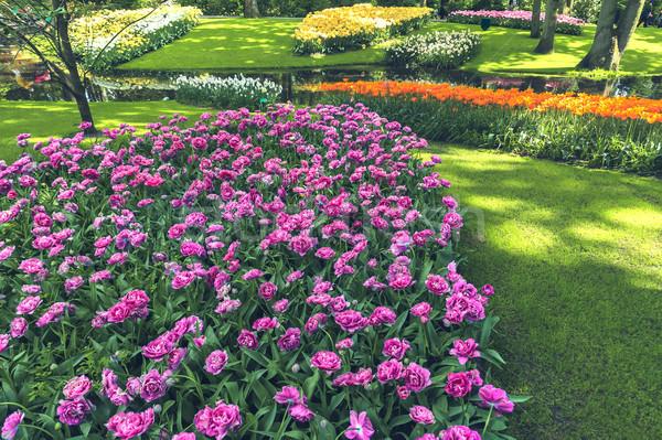 Foto stock: Tulipa · campo · jardins · jardim · de · flores · flor · primavera