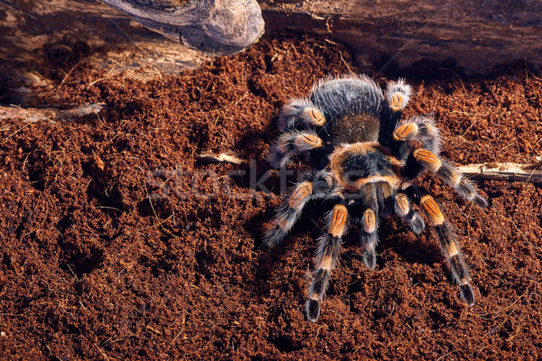 Stock photo: Mexican red knee tarantula