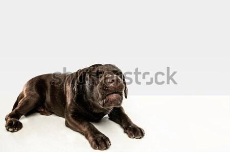 Barna labrador retriever fehér ül stúdió csokoládé Stock fotó © master1305