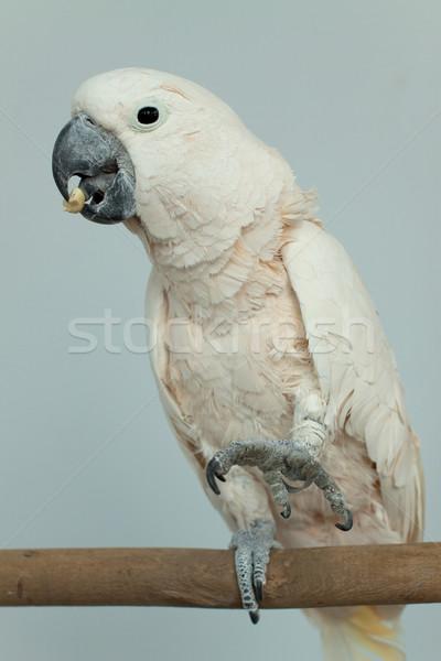 Papagaio foto branco belo laranja Foto stock © mastergarry