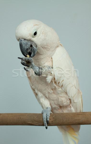 Parrot Stock photo © mastergarry