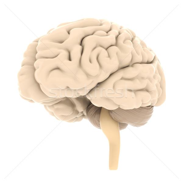 Model beyin yalıtılmış beyaz tıbbi vücut Stok fotoğraf © mastergarry