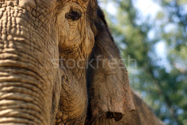 Elefante selvatico safari orecchie africa Foto d'archivio © mastergarry