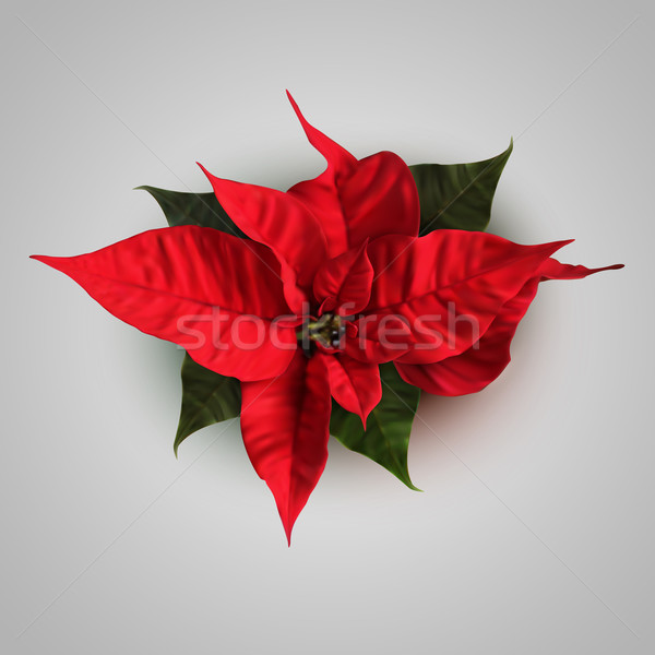 Vector Poinsettia Flowers For Decoration Stock photo © maximmmmum