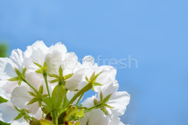 Stock photo: White Cherry Blossom Against Blue Sky Background