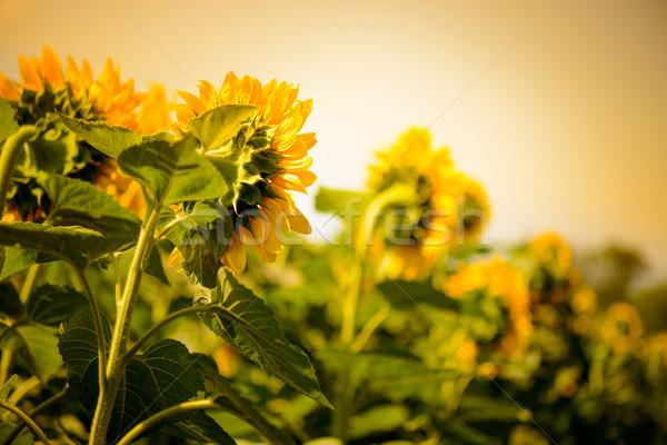 Field of Beautiful Bright Sunflowers at Sunset Stock photo © maxpro